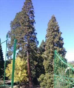 Sequoia de Jardín del Bosque en Béjar-Salamanca