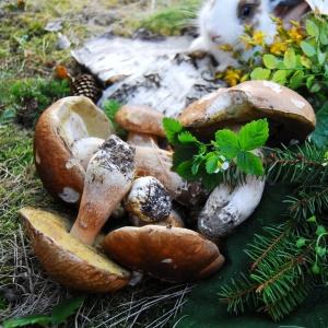 сбор белых грибов